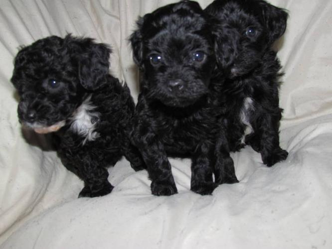 TCUP/TINY TOY MALTI-POO Puppies Maltese/Poodle **3 left**
