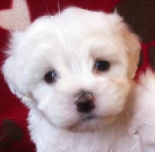 Teacup Maltese Puppies only 1 left!! for sale in York, Ontario Ads ...