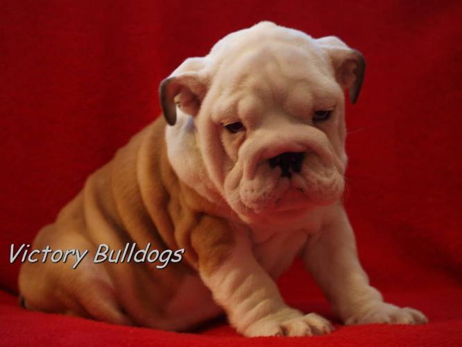 Top Quality English Bulldog Pups CKC Reg'd 3 puppies left