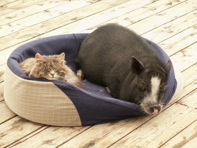 True Miniture Potbelly Pigs