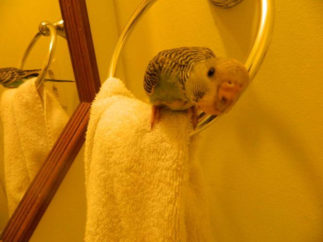 Two Baby Budgies for Sale comes with cage, stand, toys etc..
