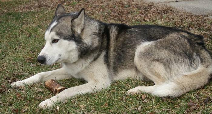 Wanted: MISSING - Siberian Husky Sarnia South