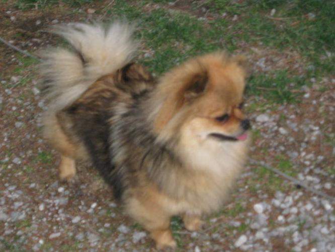 Wanted: wanted looking for a small male dog to breed my fem.pomeranian