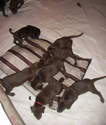 Displaying (20) Gallery Images For Weimador... Weimaraner For Sale