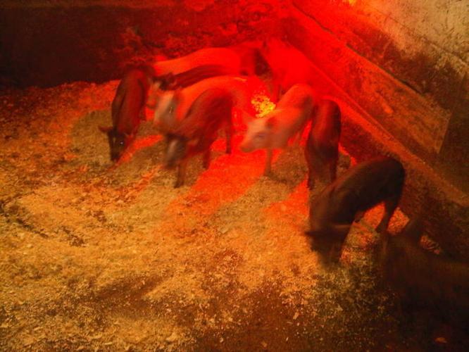 Wild boar mixed domestic white pigs