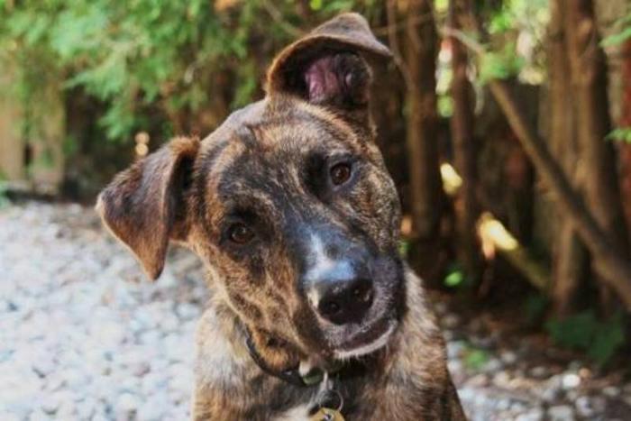 Young Male Dog - Boxer Belgian Shepherd Malinois