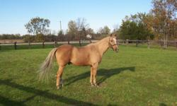 PLEASE READ ENTIRE AD BEFORE RESPONDING SO YOU DON'T WASTE YOUR TIME OR MINE! Sunny is a solid, 15.1h dark gold palomino. He is a Quarter Horse (foundation type), but no papers available. He is road/traffic safe, well broke, easy to handle. Trailers,