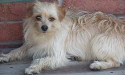 Handsome and playful male Morkie pup for sale. He's 1 year old, so he's at his max size. He's fully house trained as well as crate trained. He was raised in a house with children and other dogs and puppies.  He loves playing, running around, being walked