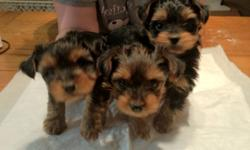 Two adorable yorkie puppies for sale! Only 2 of three left! There is one boy and one girl. Very friendly and have been raised around cats so they shouldn't be afraid if you have one. The tails are docked and the dewclaws have been removed. They will be