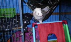 I have 2 ferrets for sale plus 2 section ferret nation cage and some accessories. ( I will not just give them away. If you say you have no money, than how can I trust that they will be given proper care?) I am back in college come and don't have enough
