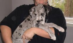 2 GREAT DANE FEMALES LEFT TO FIND THEIR FOREVER HOME. COME AND PICK YOURS TODAY AS THEY ARE GOING FAST.   GREAT PUPPIES, VERY CUTE AND MAKE REALLY GREAT PETS.   GREAT WITH OTHER DOGS AND KIDS.   MOM IS ON SITE TO VIEW AS WELL.   ASKING $400.00 BUT PRICE