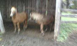 2 pony mares mother and daughter 4 and 5 year olds. Great personalities easy to work around they would make nice driving team or riding ponies they have been backed and are ready to learn more they are around 12 h. 400 each or 800 the pair. or b.o.