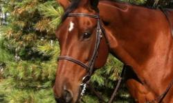 12 Yr warmblood type, beautiful bay gelding. Great show horse hunter/jumper (2'9 - 3') dressage. Stands 16 hh with solid uphill build. Very patient and fun. Many shows- lots of ribbons. Don't miss out on this guy! Sacrifice price at $6000.00 2 Yr old