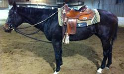 Offering for your consideration - Pucci - Hes Rosie. 3 year old Quarter Horse Gelding. Was raced in the spring but didnt enjoy being at the track. Has since been in training and would never be able to tell that he was at the track. Pucci has started basic