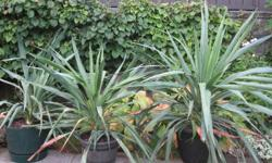 Good condition, thrives in soil that drains well and can be in full sun.