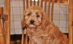 4 female Cockapoo puppies, 2 pictures of each female puppy, their mother is in the last picture, they will weigh 13 to 16lbs when full grown, non-shedding, hypoallergenic, good with children, extremely friendly, ready to go to their new homes now, 1st set