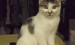 This little rascal is about 5 months old. She is very inquisitive and loves to play with our other cats. She is well socialized and leans quickly what her limits are. All of her vaccinations are up to date and she has been given a clean bill of health. We