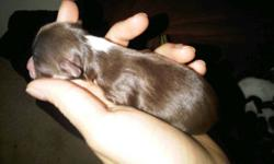 I have 6 chihuahuas for sale. 3males 3 females. Puppies wont be ready for their new homes until mid to end of January 2012. Please only serious inquires. Puppies are tiny they will grow to be 4lbs to 6lbs at the very most. We want to find loving homes for