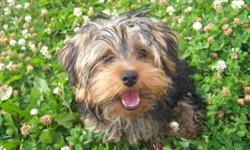 Very sweet 6 month old yorkie puppy for sale. Up to date on all shots. Trigger is very friendly and loves to play and be pet. Great with other dogs and surprisingly not really yappy (only if he sees something that scares him). He is not neutered as I had
