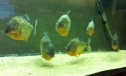 I have 6 Red Belly Piranhas I have owned for about a year. They are fed a diet of tilapia, shrimp, or any white fish fillet soaked it vitachem. They are fed every 2-3 days. I am looking to get $135 for the group and I won't part out.You would pay $270+tax