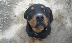 I've been a breeder of purebred rottweilers for 15 years & due to my health I can no longer continue.  I have an 8 month old very large Male intact with up to date shots for sale to loving home.  We still have the Sire on site (not 4 sale) asking $1500