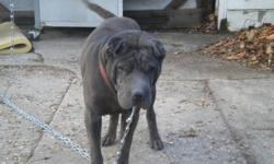 8 year old male Shar Pei, free loving home friendly, outgoing and house trained, family moved and can no longer keep him