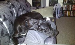 hi there i have a 8 month old great dane named penny she is great with kids and other animals due to living arrangments im not able to keep her as much as i would love to, she is black with white spots on her chest and paws, her shots areall up to date,