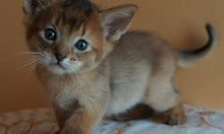 ***02 Ruddy Females Availables ***   About Us and Our Cats Our cats - kittens are qualified as show and breeder or only as a pet. Be aware that we ask a lot of questions because we have carefull about them. They are very sociable, playful and