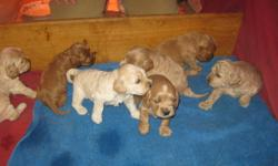 Cockapoo puppies for sale, born on November 29th.  Cockapoos are hypo-allergenic and don?t shed. These are family pets; pure cockapoo, mom and dad (both strawberry blonde) are on site.  Vet checked, first shots and dewormed.  We have not docked the tails