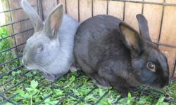 Adorable bunnies available to love & care for! Black, grey & brown available.  Standard velvet rabbit and lionheads available. Come to view & choose your own.  Located in Sarnia.