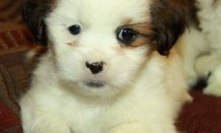 Adorable little Shih Tzu puppies! Only 1 male left!! Shih Tzu?s are small lap dogs that are highly social and love to be around their families. They are great with kids and make excellent family pets. These pups will mature around 12lbs fully grown; have