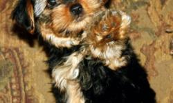 Gorgeous little darling Yorkies, who are delightful in everyway! These Tea-cup Yorkies were born September 21st, 2011! We have three charming girls and one boy. They have been home raised with loads of love & affection. They are very well socialized and