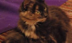 Breed: Domestic Medium Hair Dilute Tortoiseshell   Age: Adult   Sex: F   Size: M Spayed, Vaccinated, DOB June 10, 2004. Izzy has had a bit of a rough go of it recently, her previous home could no longer care for her and she had a bad skin infection and