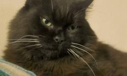 Breed: Domestic Medium Hair-black   Age: Adult   Sex: F   Size: M Spayed, Vaccinated, DOB October 14, 2007. Luna Noir is a medium sized long haired full black cat with white whiskers. She has a stunning face with big bright green eyes. Luna is extremely