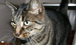 Breed: Domestic Short Hair-gray Tabby   Age: Adult   Sex: F   Size: M Dixie is a 2 year old grey DSH and tabby.   View this pet on Petfinder.com Contact: Shelter of Hope Animal Services | Cobourg, ON