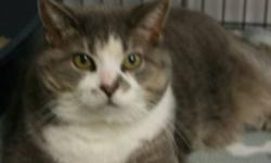 Breed: Tabby - Grey Domestic Short Hair-white   Age: Adult   Sex: F   Size: L Kitsa is a seven year old grey tabby and white DSH. She is a very content cat.   View this pet on Petfinder.com Contact: Shelter of Hope Animal Services | Cobourg, ON