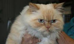 Breed: Himalayan   Age: Adult   Sex: M   Size: L Henry is a 4 year old Himilayan.   View this pet on Petfinder.com Contact: Shelter of Hope Animal Services | Cobourg, ON
