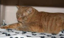 Breed: Tabby - Orange   Age: Adult   Sex: M   Size: L Teddy is a four and a half year old orange tabby.   View this pet on Petfinder.com Contact: Shelter of Hope Animal Services | Cobourg, ON