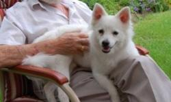 Breed: American Eskimo Dog   Age: Adult   Sex: M   Size: M URGENT!!!!! Bear is a six year old purebred American Eskimo.  He is very social and loveable to those he lives with, or those who visit. He loves treats of any kind and he currently lives with
