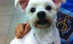 Breed: Maltese   Age: Adult   Sex: M   Size: S This cute little guy is Niko. He is a playful 5 year old maltese mix who loves to interact with other dogs and rides curled up and quiet in the back seat of the car. His tail is always wagging in circles like