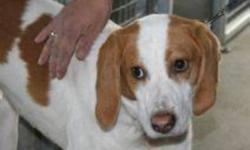 Breed: Treeing Walker Coonhound   Age: Adult   Sex: M   Size: L Tanner is a one and a half year old walker hound. He is a little shy and timid when he meets new people. Neutering pending. **Adoption pending**   View this pet on Petfinder.com Contact:
