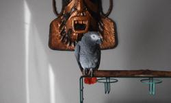i have a male African grey parrot with cage asking $ 1800 he is 4 years old his name is skipper. call 1-705-848-8126