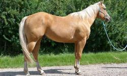Ace is a really nice 10yr old 15'1hh palomino gelding. He's been there done that. He's been used as a ranch horse and as seen the miles. He now get's rode by a 9yr old girl that has started him on the barrels and loping a really nice pattern. He's been to