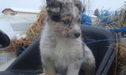 We have a variety of puppies for sale one mom is Australian Shepherd the other Australian Cattle dog dad is Border collie heeler cross. We have a number of pupppies for sale ranging in color from Merels to brownd to blacks tries and black and whites