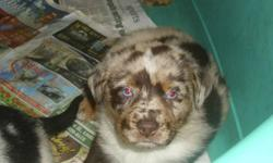 Australian Shepherd Rottie X puppies. One Rottie colored, 2 Red Merle and one Blue Merle.