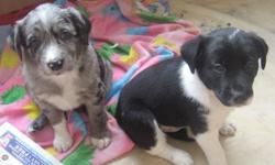 ONLY 1 LITTLE BOY LEFT! Ready to go home anytime. Grey merle ( male) $ 350 each dew claws & tail docking have been done. Father is 14 inches tall at shoulder, mother is 16 inches at shoulder. Both are short haired as are the puppies. First shots / vet