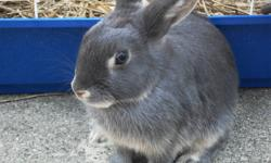 Baby bunnies born Sept.10/11 ready to go to a good home.  Handled since birth and very loveable. Will provide cage with the bunny!  Makes a great family pet. Call for further information.