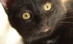 Breed: Domestic Short Hair-black   Age: Baby   Sex: F   Size: S Spayed, Vaccinated, DOB September 5, 2011. Gemma (pronounced Gem-ah) is a petite black kitten with an adorable face. She's sweet but very timid except when she's playing, usually with her