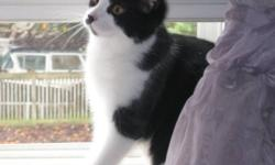 Breed: Domestic Short Hair-black and white   Age: Baby   Sex: F   Size: M Spayed, Vaccinated, DOB May 15, 2011. Lucy is playful and does very funny things that will keep you entertained and smiling! She enjoys being pet and cuddled. She is more