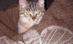 Breed: Domestic Short Hair - brown Tabby - Brown   Age: Baby   Sex: F   Size: M Spayed, Vaccinated, DOB August 1, 2011. See a Penny pick her up, and all day you'll have good luck! This little girl will keep you laughing with her antics. She and her